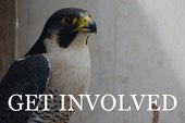 get involved button falcon