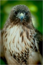 Ruby Red-tailed Hawk